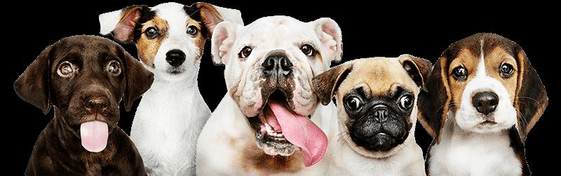 Buy Puppies & Dogs For Sale Online In Delhi Mumbai Pune Bangalore